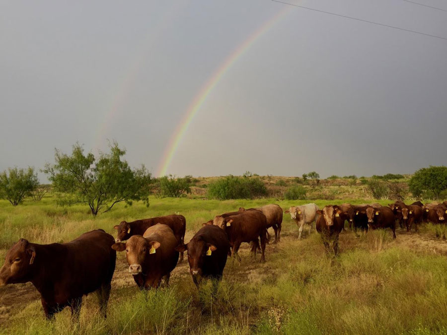 Beefmaster Heifers and Yearling Bulls